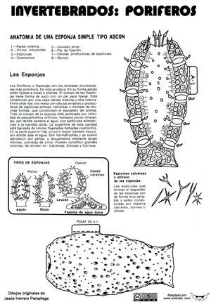 Poriferos-Esponja