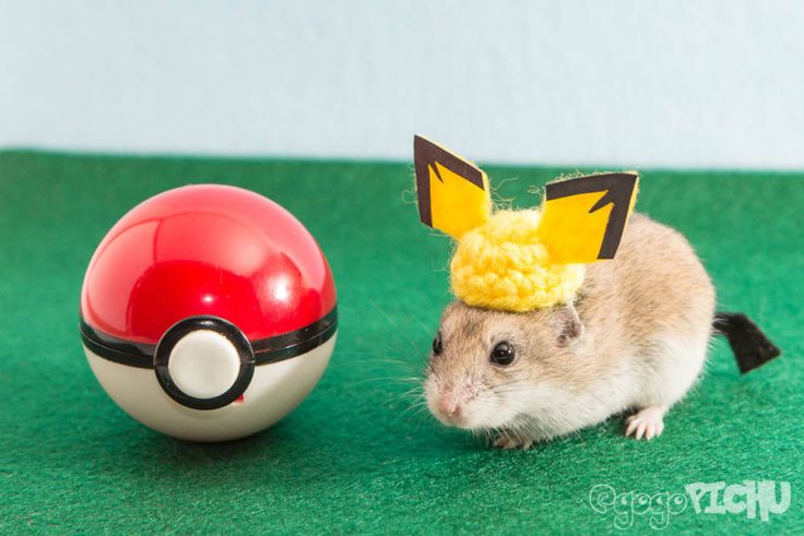 """Meet Pichu the totally awesome Chinese Dwarf Hamster. He loves to dress up, explore new lands, and eat treats."" – Shelley T."