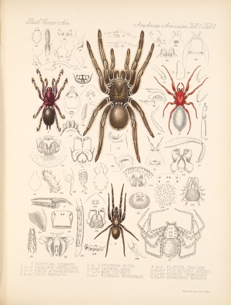 Zoological illustrations of spiders made by Frederick O. Picard-Cambridge for the Biologia Centrali-Americana, an encyclopedia of the natural history of Mexico and Central America  Date1897–1905