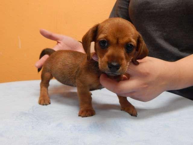 Take this girl home! Cute Chiweenie puppy, ChihuahuaMini