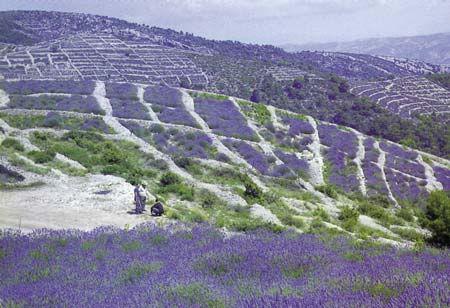 Hvar - Fields of lavander.   Hvar is a Croatian island in the Adriatic Sea, located off the Dalmatian coast, lying between the islands of Brač, Vis and Korčula.