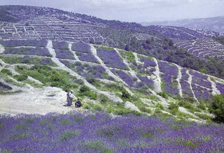 Hvar - Fields of lavander.   Hvar is a Croatian island in the Adriatic Sea, located off the Dalmatian coast, lying between the islands of Brač, Vis and Korčula.