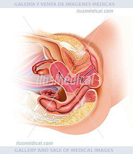 Anatomía del sistema reproductor femenino. Sus órganos genitales están úbicados en la ...