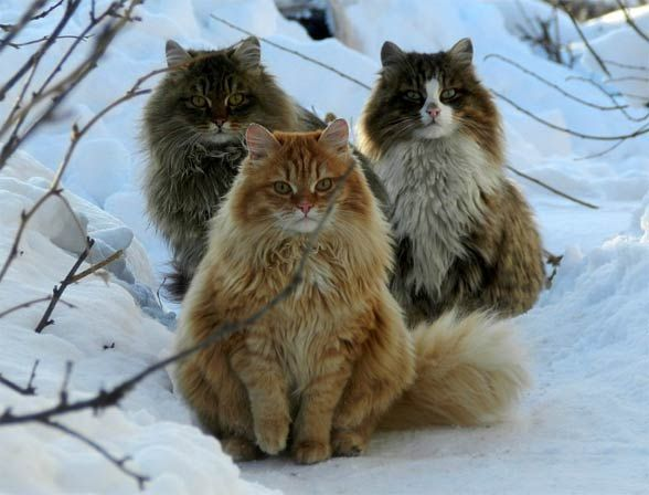 norwegian forest cat images | Kot norweski leśny | DinoAnimals.pl
