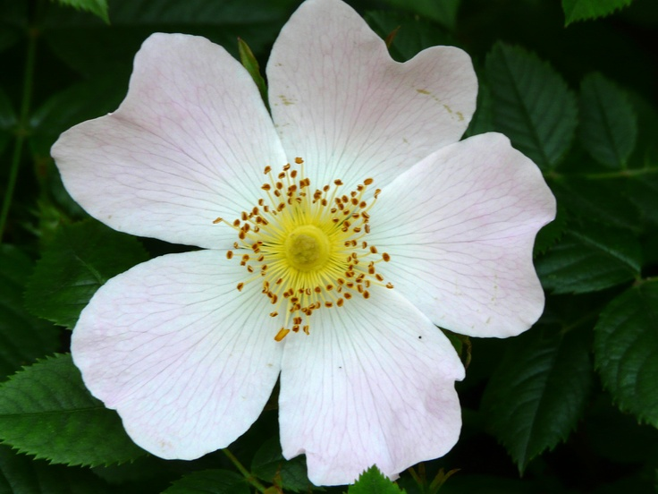 In mid-June the Dorset hedgerows show the lovely flowers of the Dog Rose. They flower in June and July and once pollinated will turn in to the Rose Hips we all know, those wonderful, shiny red/orange seed fruits of the autumn. The Dog Rose can often be mistaken. There is also a Field Rose and a couple of wild briars which are very similar. The Dog Rose can have pink flowers as well as various lighter shades down to almost white. The Dog-rose is a climber whereas the Field Rose is more a…