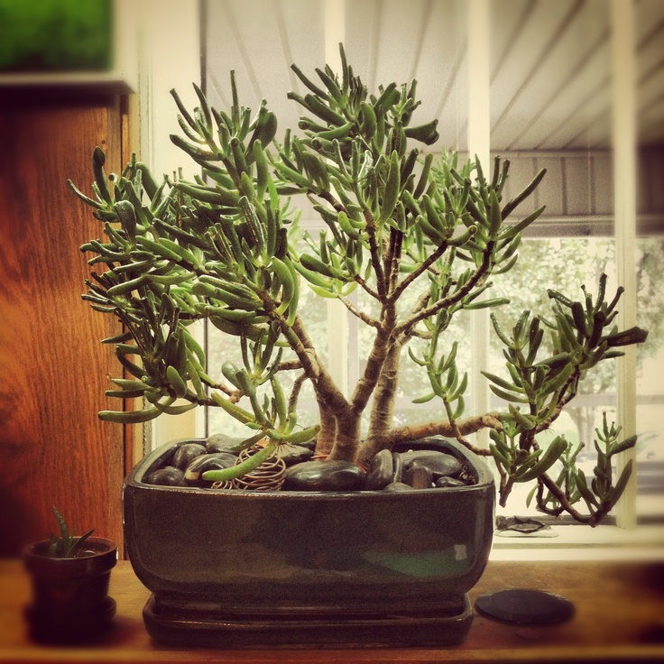 Jade Bonsai  I Just Repotted This Beauty  I U0026 39 Ve Had It For