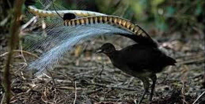 Amazing! Bird sounds from the lyre bird - David Attenborough - BBC wildlife (funy animal)