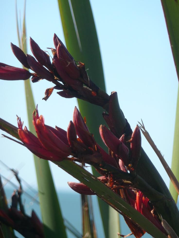 Flax Flowers. Image by Wilhelmina Wegman