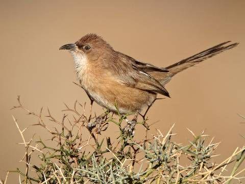 Fulvous Babbler by Ignacio Yufera taken on a Rockjumper Birding Tour in Morocco.