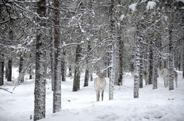 http://elpachinko.com/viajes-a-finlandia/laponia-excursion-motos-nieve-granja-renos/  En moto de nieve por los bosques de Laponia Finlandesa y visita a una granja de renos