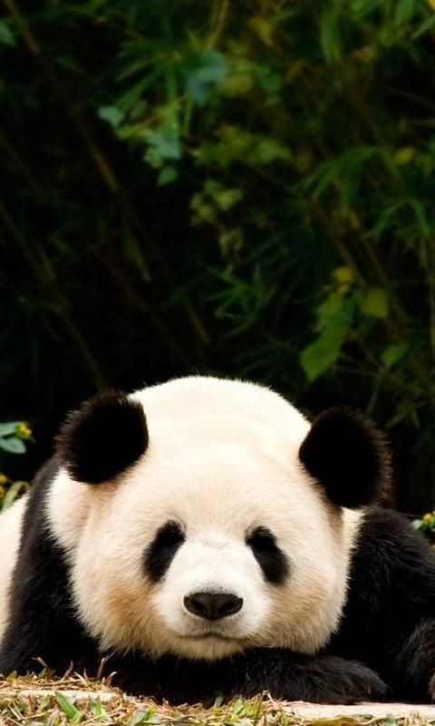 lovely panda bear