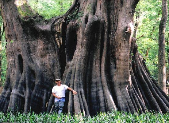 Largest living Bald Cypress...Cat Island swamp...Louisiana