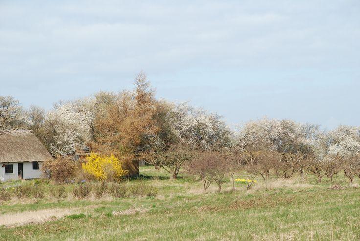 Gammel husmandssted med frugthave på Fejø. Mirabellerne i hegnet i fuld blomst, ser næsten ud som om der er faldet lidt sne....