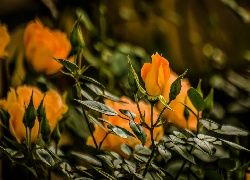 Żółte, Róże, Pąki, Listki