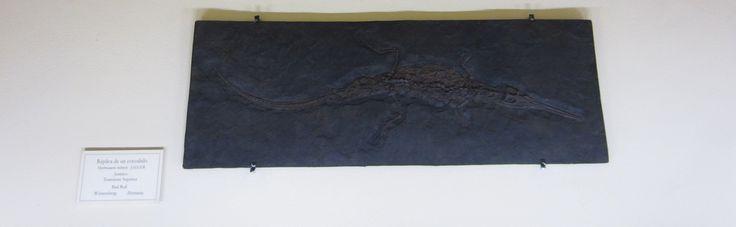 COCODRILO   Familia: Crocodílido Orden: Crocodilios Clase : Reptiles TENÍAN: Hocico corto en comparación con las otra especies; la cabeza irregular.Color verde oscura,parda,marrón.Eranmuy próximos a los antepasados de las aves surgieron en el Triásico superior, hace unos 230 millones de años, y se expandieron especialmente durante el Jurásico. Así, se han encontrado restos fósiles de cocodrilo de hace 90 millones de años del denominado Phobosuchus: un cocodrilo marino gigantesco, de 15…
