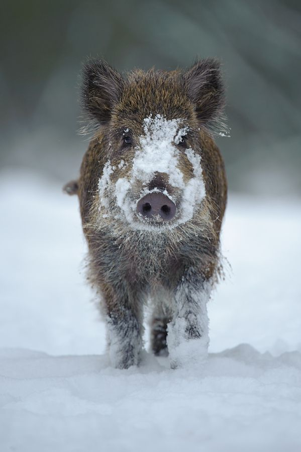 BABE by Edwin Kats, via 500px; Wild boar piglet, Netherlands