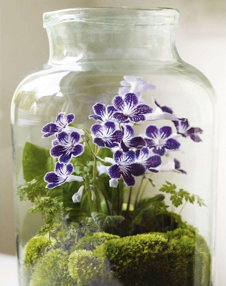 Oil jar terrarium with Geranium robertianum, Streptocarpus 'Polka-Dot Purple' & Leucobryum glaucum; Gardens Illustrated, January 2016