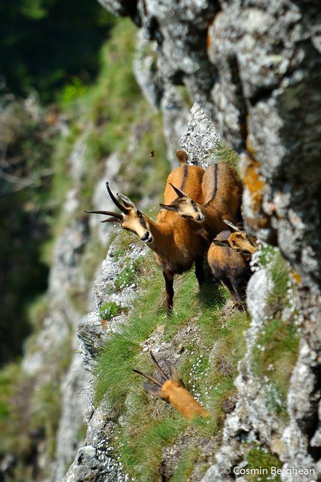 Capra neagra (Rupicapra rupicapra)