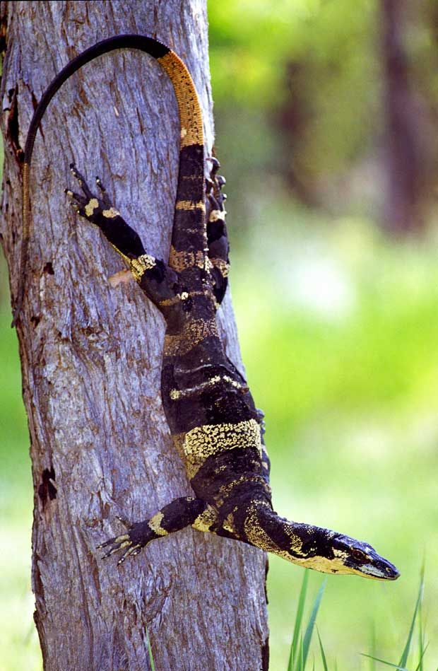 Bells phase lace monitor
