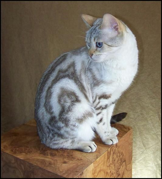 Another blue-eyed snow marbled Bengal that looks like my fluffy cat Frederica.