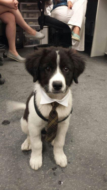 affection-whore:  grumpysalmon:  awwww-cute:  Brought my new puppy Charlie into work the other day. Had to follow the employee dress code  i...