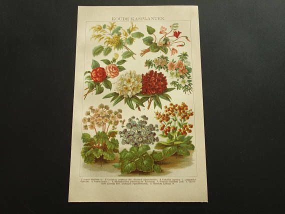 Rhododendron flowers print 1909 old botany pictures of flower