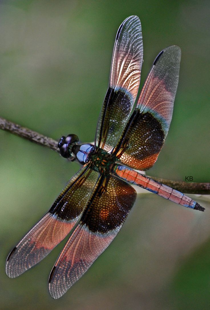 Animals For > Colorful Dragonfly Wings