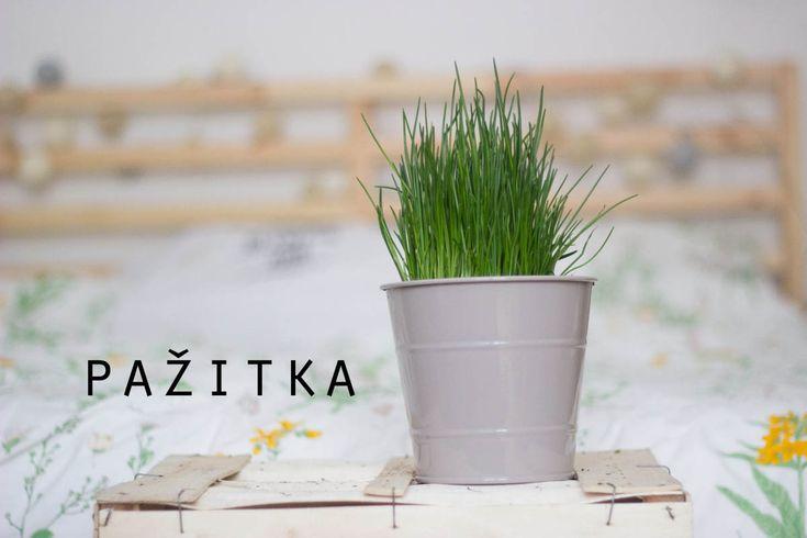 Velký bylinkový průvodce aneb co pěstovat na balkóně: Pažitka