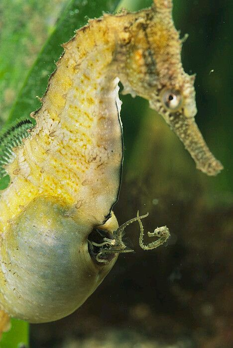 Even though this is a male sea horse, it's part of Mother Nature's rhythm for this species.