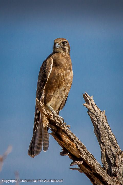 Brown Falcon.  #Photography #Australian #Native #Fauna #Birds