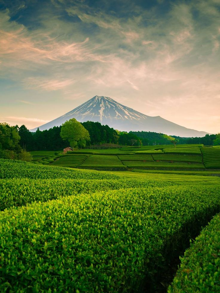 Japanese tea plantation and Mt.Fuji, Japan