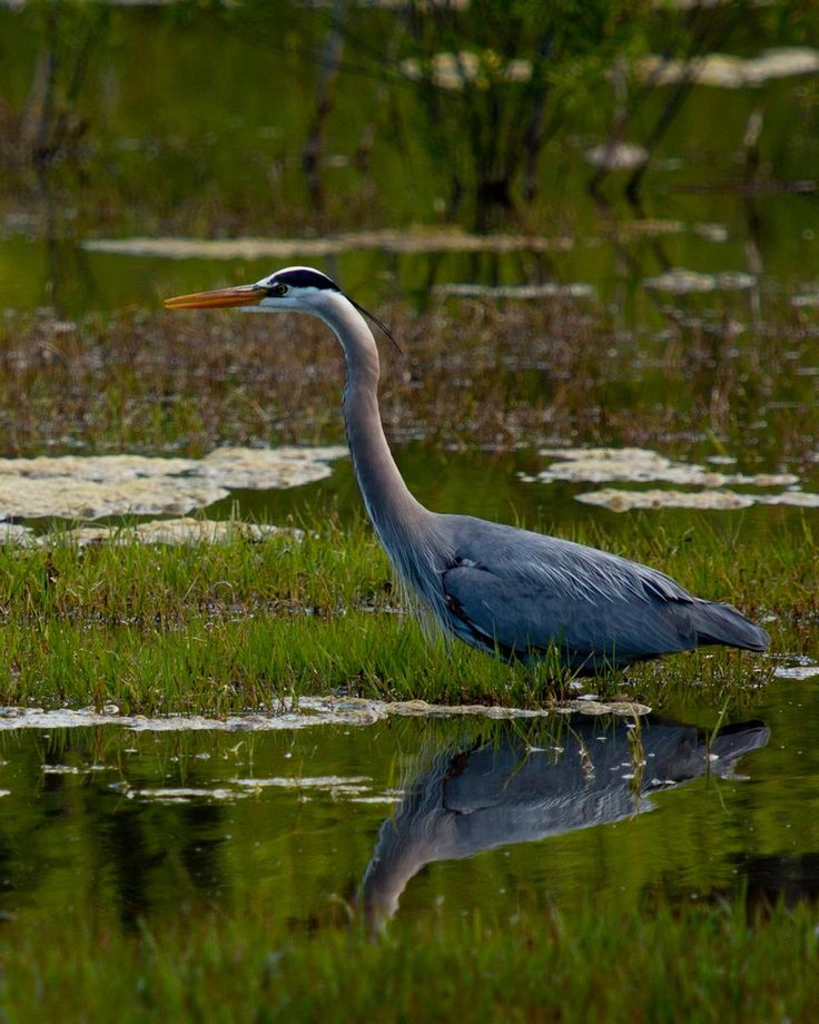 Great Blue Heron in the shallows of Lake Talbert in #HuntingtonBeach #CentralPark, image by Phil Yasskin #OCPhoto2017 #OrangeCounty #SoCal #SurfCityUSA #wildlife