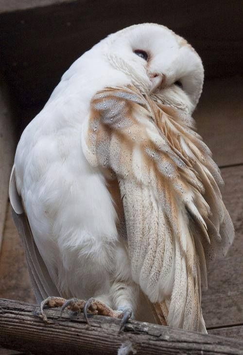 Beautiful White Owl!