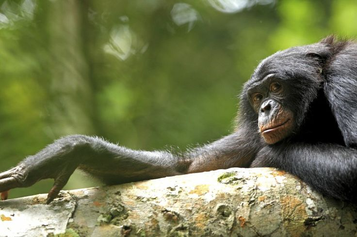 04 February 2011 The intense gaze of the dominant female of a wild group of bonobos in the Kokolopori Bonobo Reserve, in the Democratic Republic of Congo, makes it apparent just how similar bonobos are to humans.