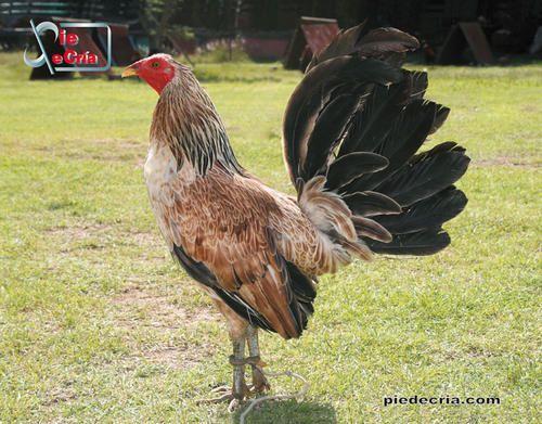Gallino de Pelea | I love my chicken fighter ♡:* | Pinterest
