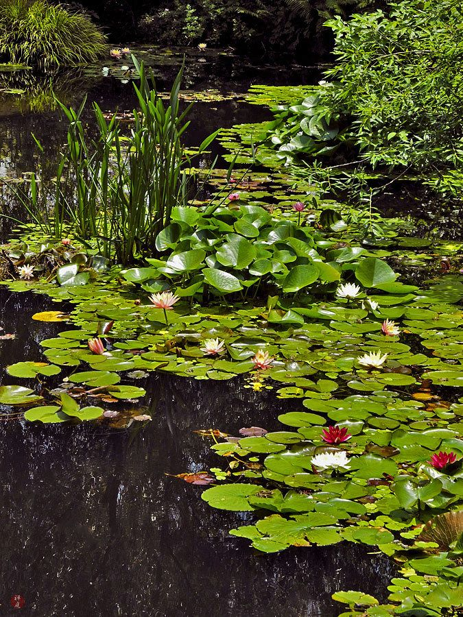 Best 25 Lily Pond Ideas On Pinterest Water Lilies