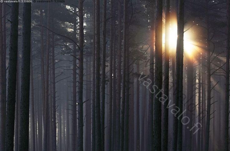 Syysaamu mäntymetsässä - syysaamu aamu aurinko mäntymetsä metsä männikkö puut lokakuu hämärä hämärää