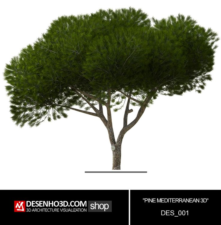 PINE MEDITERRANEAN 3D, Pinheiro manso 3D 3D Pinus pinea  Umbrella Pine