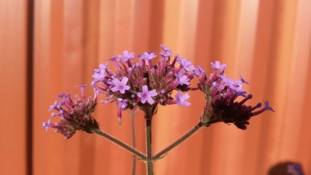 Purple Vervain (Verbena bonariensis), a prolific seeder, from prolific flowers - user beware ! Fantastic cut flower, for months of productions. The butterflies go wild on it !