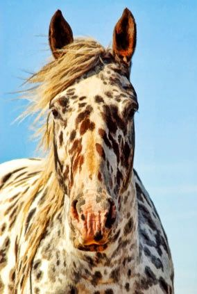 Leopard Appaloosa Horse....The Appaloosa is a horse breed best known for its colorful leopard-spotted coat pattern. There is a wide range of body types within the breed, stemming from the influence of multiple breeds of horses throughout its history. Each horse's color pattern is genetically the result of various spotting patterns overlaid on top of one of several recognized base coat colors.