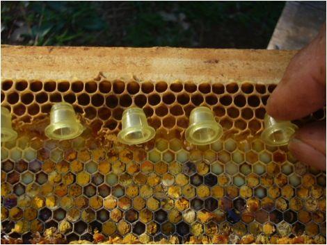 Como criar abelhas rainha para expandir seu apiário e obter mais ...