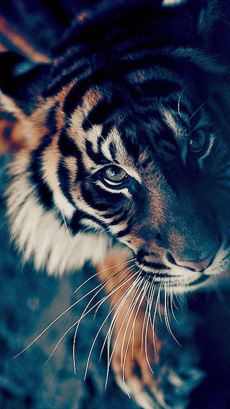 Bengal Tiger Face Closeup iPhone 6 wallpaper