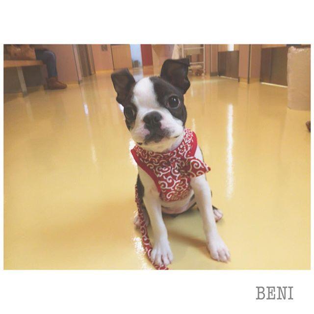 . . 紅さん、目やら肌やら心配だったけど、問題ナシだった 〜〜 😊 予防接種も3回終了 ! 来週からお散歩OK ! ってことで、ハーネスデビュー 🐕 本当は緑が良かったけど、女の子だし、赤にしてみた 🌷🌷 🌷 . #Bostonterrier #ボステリ #ボストンテリア #いぬばか部 #いぬら部 #愛犬 #鼻ぺちゃ #癒し犬