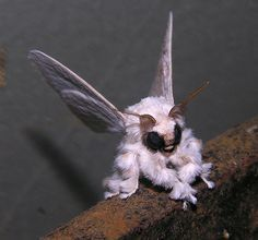 Venezuelan Poodle moth (Artace sp, perhaps A. cribaria), by Arthur Anker: Possibly a new species discovered by zoologist Arthur Anker in 2009. #Insects #Moths