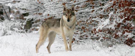 cane lupo del sarloos