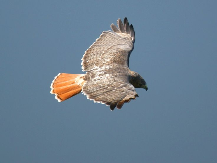 Red-tailed Hawk Pictures Gallery | Red Tailed Hawks