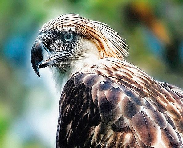 Credit: Atlas of Rare Birds/New Holland Publishers The Philippine eagle could be one of the first big flagship species to be driven to extin...