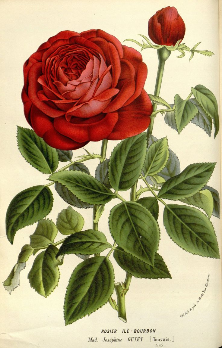 Rosa 'Madame Joséphine Guyet' taken from Flore des serres et des jardins de l'Europe (1845-1880).  Louis van Houtte (1810–1876) Scan of original book from Botanicus
