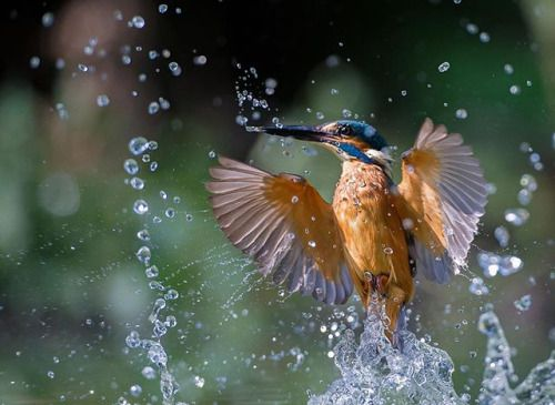 One of many exceptional Kingfisher action shots by pro photographer @max.rinaldi on the #Nikon #D3S and #NIKKOR AF-S 70-200mm f/4G ED VR. #mynikonlife via Nikon on Instagram - #photographer #photography #photo #instapic #instagram #photofreak #photolover #nikon #canon #leica #hasselblad #polaroid #shutterbug #camera #dslr #visualarts #inspiration #artistic #creative #creativity