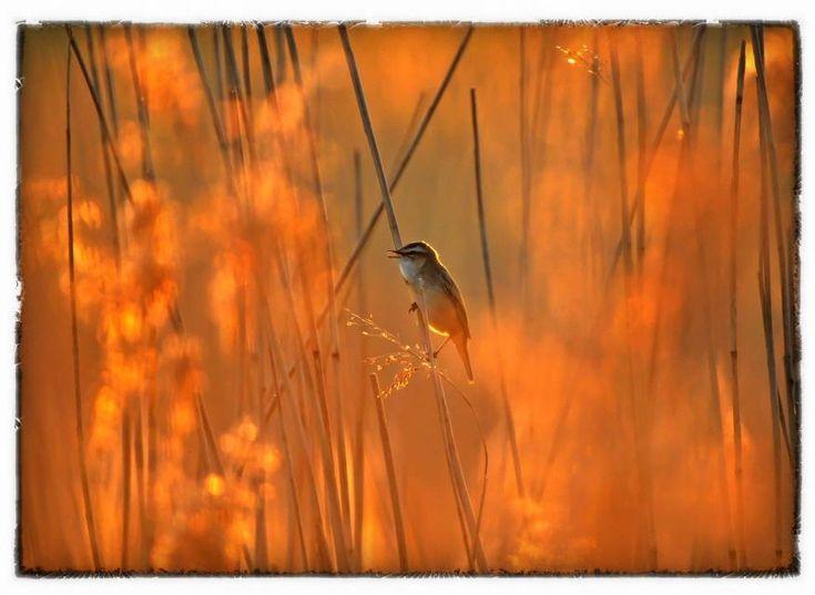 Hij was er weer, vandaag. De Lou #rietzanger..such a perfect day... #HH #Lauwersmeer.